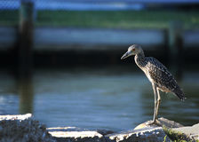 Night Heron on the Canal. A night heron patiently waits along side a canal where an unlucky fiddler crab will soon become his dinner Stock Photo