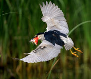 Night Heron catch redfish Royalty Free Stock Images