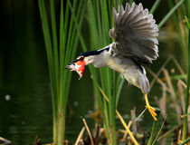 Night Heron catch redfish Royalty Free Stock Photography