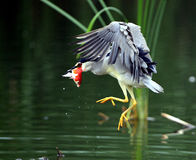 Night Heron catch redfish Royalty Free Stock Image
