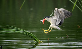 Night Heron catch redfish Stock Image