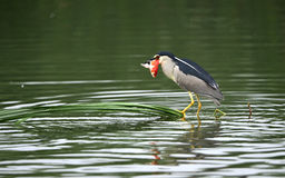 Night Heron catch redfish Stock Images