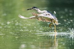 Night heron closeup. Beautiful water bird took off Royalty Free Stock Photos