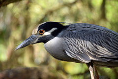 Night heron closeup view Royalty Free Stock Photography