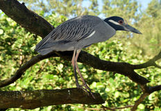 Night heron closeup view Royalty Free Stock Image