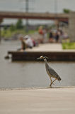 Night Heron at Daytime Event Stock Photography