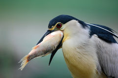 Night heron, detail portrait of grey water bird  with fish in the bill, animal in the water, action scene, Hungary Royalty Free Stock Photos