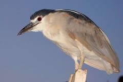 Night Heron. A night heron at dusk Stock Images