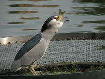 Night heron eat fish Royalty Free Stock Photography