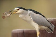 Night heron eating a fish Stock Photography