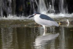 Night heron in water falls Stock Photo
