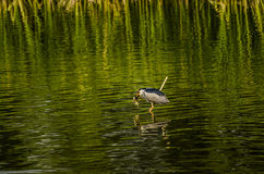 Night heron fishing Royalty Free Stock Image