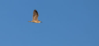 Night Heron in flight Stock Photography