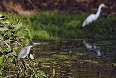 Night Heron and great egret Stock Photography