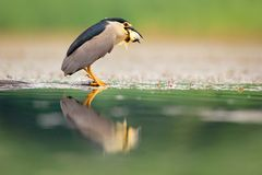 Night heron, grey water bird with fish in the bill, animal in the water, action scene from Hungary, nature habitat. stock photos