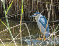 Night Heron on guard. The Night Heron (Nycticorax nycticorax) likes to wait for it's prey in hidden places, showing amazing patience in it's persistence for a stock photo