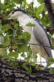 Night Heron hiding in the foliage Royalty Free Stock Photography