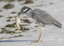 Night Heron Hunting Stock Photos