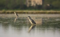 Night Heron hunting Stock Photography