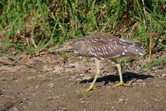 Night heron juvenile Stock Image