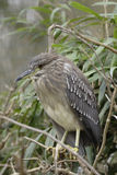Night heron juvenile. Night heron in the Belgian Zwin Natural Park bording the North Sea Royalty Free Stock Images