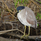 Night Heron, Kakadu National Park, Australia Royalty Free Stock Photos