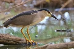 Night Heron by Lake Royalty Free Stock Image