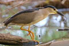 Night Heron by Lake Stock Photos