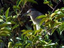 Night Heron in Nature stock photos
