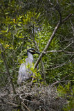 Night Heron Nest - Wakulla Springs Royalty Free Stock Images