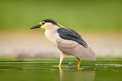 Night heron, Nycticorax nycticorax, grey water bird sitting in the water, Hungary. Wildlife scene from nature. Bird in the water stock image