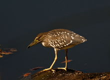 Night heron (Nycticorax nycticorax) Royalty Free Stock Images