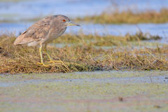 Night Heron. Nycticorax nycticorax. Female. Stock Images