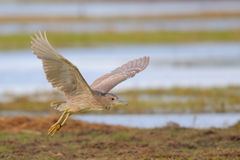 Night Heron. Nycticorax nycticorax. Female. Royalty Free Stock Photos