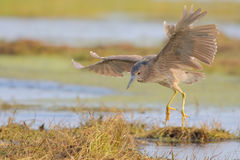 Night Heron. Nycticorax nycticorax. Female. Stock Photo