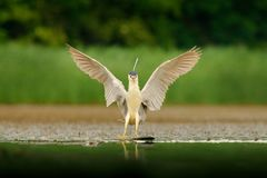 Night heron, Nycticorax nycticorax, grey water bird with open wings the water. Animal in the nature habitat, Hungary, Europe. Hero stock image