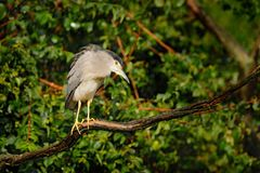Night heron, Nycticorax nycticorax, grey water bird sitting above the water, Hungary . Bird in rain, green vegetation. Wildlife sc. Night heron, Nycticorax Stock Images