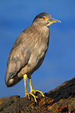 Night heron, Nycticorax nycticorax, grey water bird sitting in the stone coast, California, blue sea with in the background, USA Stock Image