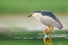 Night heron, Nycticorax nycticorax, grey water bird sitting by the water, animal in the nature habitat, Hungary, Europe. royalty free stock photos