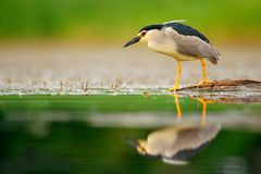 Night heron, Nycticorax nycticorax, grey water bird sitting by the water, animal in the nature habitat, Romania, Europe. Heron wit royalty free stock photo