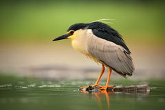 Night heron, Nycticorax nycticorax, grey water bird sitting in the water, Hungary Stock Photos