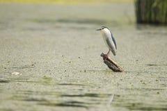 Night Heron, Nycticorax nycticorax, a small heron royalty free stock photo