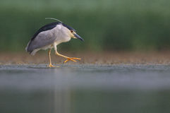 Night Heron. The picture was taken in Hungary Royalty Free Stock Photography