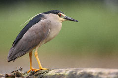 Night Heron. The picture was taken in Hungary Stock Photo