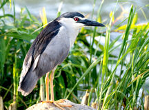 Night Heron Portrait Royalty Free Stock Photos