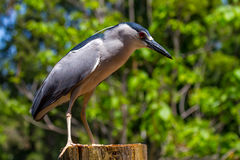 Night Heron on a Post Royalty Free Stock Image