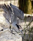 Night Heron Preparing to Attack. Yellow-Crowned Night Heron with wings uplifted and preparing for attack Stock Photo