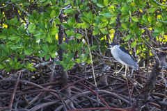 Night Heron in the Red Mangrove Forest Royalty Free Stock Photo
