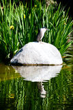 Night Heron Reflection Stock Images
