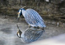 Night heron and reflection Stock Images